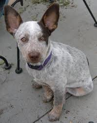 9 do blue heelers shed truly interesting facts about