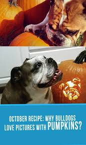 Pumpkin Farm Minecraft 111 by 22 Best Bulldog Pumpkins Images On Pinterest Pumpkins Bulldogs
