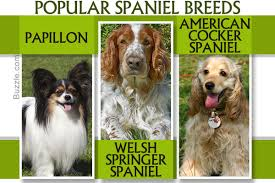 Springer Spaniel Shed Hunting by An Exhaustive List Of Spaniel Breeds With Pictures