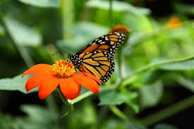 Thumbnail For Monarch On Mexican Sunflower