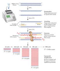 bureau de la pcr optimization of early detection of invasive mussels with