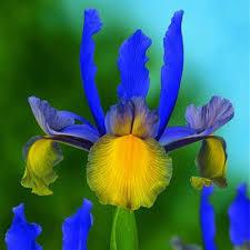 iris sown