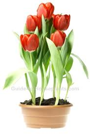 growing tulips indoors discover how to plant tulip bulbs indoors