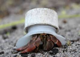 Do Hermit Crabs Shed Their Legs by 110 Best Fiddler Hermit Crabs Images On Pinterest Hermit Crabs