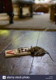 tote maus gefangen im falle der frühling im wohnzimmer