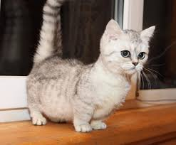 munchkins cats these munchkin cats might be the cutest animals you ll see