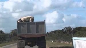 Stupid Pig Jumps Out Of Truck - YouTube Toms Bbq Pig Rig Phoenix Food Trucks Roaming Hunger Our Second Food Truck Is Complete The Red Truffle A High Farmer John Pig Transport From Colorado To California 3104 Benjamin Radigan Elegant Truck Transport Semi Trailer Suppliers And Out Pigouttruckiowa Twitter Hauling Thousands Of Pigs Overturns On I40 Blocking Lanes Dog 96000 Prestige Custom Manufacturer Proper Smokehouse Inspired By Owners Vacation Pig Food Truck Its Seattle I Must Go Jolly Baltimore Sun