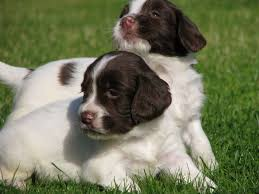 Springer Spaniel Shed Hunting by English Springer Spaniel Puppies Hunt Dog Breeds Puppies Active