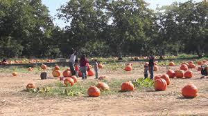 Lane Farms Pumpkin Patch by At Bishop U0027s Pumpkin Farm In Wheatland California Youtube