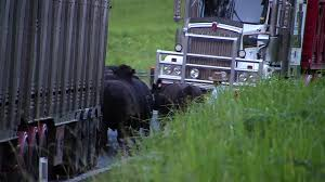 VIDEO: Police Confirm Latest In Two Truck Head-on | Grafton Daily ... Semitruck Cattle Accident Youtube Video Appears To Show Live Cow Scooped Up In Dump Truck After Semi Overturns Near Okarche Kforcom Trailer Flips On E Highway 50 No 17 Richardson Bros Beef Central Truck Ploughs Through Herd Of Cattle Ladysmith Gazette Crash 1 Clarksvillenowcom Westbound Us412 Lanes Open After Crash Spill Cleaned With A Lot Help Krvn Radio Crashes Hwy 15 News Channel Nebraska Causes Problems I71