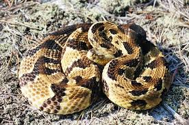 Poisonous Snakes Of Florida | Phillip's Natural World 1.0.2 Backyard Snakes Effective Wildlife Solutions Snakes And Beyond 65 Best Know Them Images On Pinterest Georgia Of Louisiana Department Fisheries Southern Hognose Snake Florida Texas Archives What Is That 46 The States Slithery Species Nolacom Scarlet Kingsnake Cottonmouth Eastern Living Alongside Idenfication Challenge The Garden Or Garter My Species List New Engdatlantic