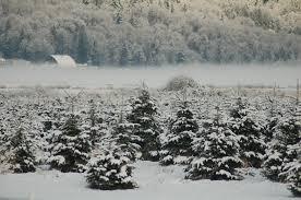 Frasier Christmas Tree by Snow Valley Christmas Tree Farm Home