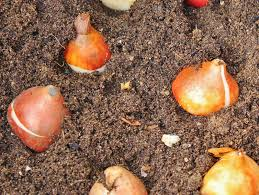 garden solutions for the high desert bulb planting season 2013 4