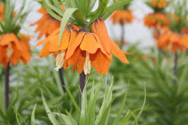 fritillaria imperialis from the gold medal winning harts