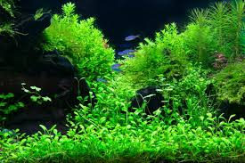 Everything About Aquascaping, The Incredible Underwater Art Aquascaping Nature Aquariums Of Zoobotanica 2013 Youtube Aquascape The Month November 2009 Riverbank Aquascaping Style Part 5 Roots By Papanikolas Nikos Awards Aquascapes Lab Tutorial River Bottom Natural Aquarium Plants The Planted Tank 40 Gallon Aquarium Everything About Incredible Undwater Art Cube Tanks Aquariums Dutch Vs How To A Low Tech Part 1