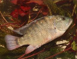 Picture Of A Blue Tilapia Rendalli