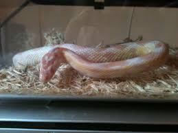 Corn Snake Shedding Time by Hypo Snow Cb13 Corn Snake U0026 Tank For Sale Corby