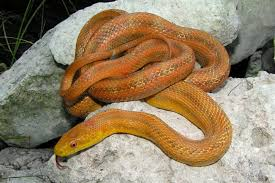 Corn Snake Shedding Too Often by Rules Of The Jungle March 2014