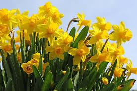 narcissus tete a tete cyclamineus daffodil