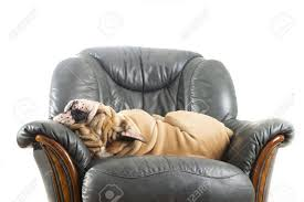 Happy Lazy Dog English Bulldog On A Leather Armchair Sofa Stock ... Faux Suede Pet Fniture Covers For Sofas Loveseats And Chairs Comfort Research Big Joe Bagimals Dawson The Dog Bean Bag Armchair Shih Tzu Lap On The Stock Photo Image 350298 Dog Cat Chamomile Amazoncom Sure Fit Quilted Throw Sofa Slipcover Taupe King Sitting His Throne 1018169 Shutterstock Antique Asian Chair Chinese Export Wood Carved Dragon Lion Foo Me My Dogcat Fold Out Bed With Protector Available In Dogs Amazoncouk Boxer Destroyed A Leather Armchair Alone At Home Damaged Hound Buttonback Occasional Loaf