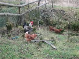 Hello From Wales,UK | BackYard Chickens 14 Best Chicken Breeds Images On Pinterest Grandpas Feeders Automatic Feeder Standard 20lb Feed Backyard Chickens Norfolk Va 28 Run Selling Eggs From Uk My Marans Red Pyle Brahmas And Other Colours Backyard Chickens Page 53 Of 58 Backyard Ideas 2018 Derbyshire Redcaps Uk Cleaning Stock Photos Images Quietest Breeds Uk With Quiet Coop How To Keep Your Hens Laying All Winter Long Top 5 Tips A Newbie The
