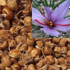 8pcs saffron bulbs crocus sativus flower seeds