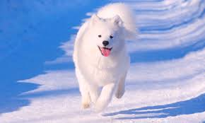 American Eskimo Shedding Problem by 5 Things To Know About Samoyeds Dogs Bubble