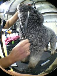 Dogs That Shed Hair by The Pumi Is A Terrier Type Herding Dog Catskill Pumi