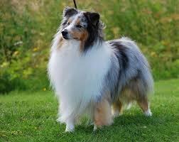 best 25 shetland sheepdog puppies ideas on pinterest shetland