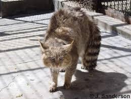mountain cat catsg mountain cat