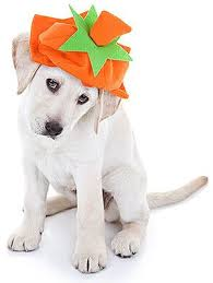 Too Much Pumpkin For Dogs Diarrhea by Your Ultimate Guide To Dogs And Pumpkin U2013 Can My Dog Eat Pumpkin