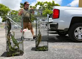 Barbecue A Fix For South FL Invasive Iguana Infestation | Miami Herald Lizard Zuk A11b V10 Ls17 Farming Simulator 17 Mod Fs 2017 The Dark Underbelly Of Truck Stops Pacific Standard Pin By Chrimmons On Aesthetics Pinterest Palm Semi Trucks And Rigs I Do Custodial Work At Truck Stops Overnight Ama Iama Lot Lizards Birds Old Loves Allan C Weisbecker Groundbrkingbeatz Thats That 3am Lot Lizard Stop 7 Deadly A Handy Field Guide For Lizardwatchers Beans The Loose Overnight Stop A Reports Lizards Being Taken Spurs Doc Call Otago Daily Times Biologists Remove Invasive Tegu Threatening Floridas Back Off Mustache Coffee With Sapp Brother Truckstop Prostution