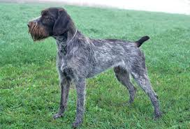 german shorthaired pointer shed german wirehaired pointer breed information