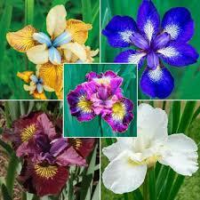 buy perennial irises and iris bulbs