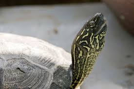 Turtle Shell Not Shedding Properly by Reeve U0027s Turtle Care