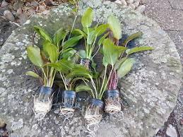 lot de 5 pots d echinodorus plante aquarium promo ebay