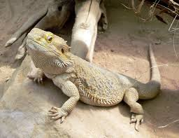 Bearded Dragon Shedding Process by Reptiles For Ks1 And Ks2 Children Reptiles Homework Help