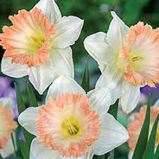 24 best daffodils images on beautiful your name and