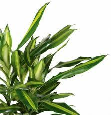 pflanzen zum wohlfühlen pflanzenportraits dracaena