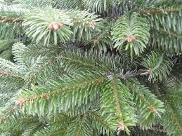 Nordmann Fir Christmas Tree Seedlings by Flower Mound Christmas Trees Com Dallas Area Christmas Tree