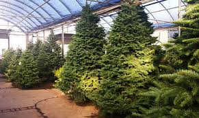 TLC Garden Centers Have A Huge Variety Of Christmas Trees Including Noble Fir As Well
