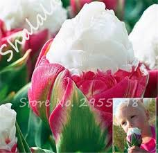 buy tulip bulb and get free shipping on aliexpress