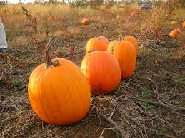 Southern Ohio Pumpkin Patches by Guide To Pumpkin Picking In Ohio I Love Halloween