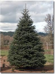 10 Foot Tall Nordmann Fir Trees