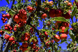 Mapping Georgia's Apple Orchards In Time For Fall Splendor Herb Apple Gruyere Scones Now Forager The Best Picking Near Atlanta In Map Form Tennessee Seerville Barn Orchard Winesap Apples 18 Bushel Red Orchards Mt Hood Stock Image 24641381 Orchard Front Mount Photo 27690034 Shutterstock Winery Elkhorn Wi Barnquilt Appleorchard Mapping Georgias In Time For Fall Splendor Experience Autumn At Edwards West