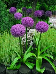 the real dirt all alliums not for toronto