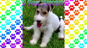 Non Shed Dog Breeds Hypoallergenic by Top 10 Hypoallergenic Dogs Youtube