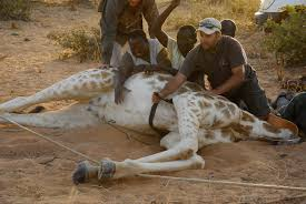 Julian And Team Collaring Giraffes In West Africa Credit Fennessy
