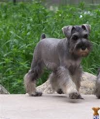 Do Giant Schnauzer Dogs Shed Hair by 182 Best Miniature Schnauzer Crazy Images On Pinterest