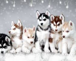 Non Shedding Husky Cross by Cute Dogs And Puppies Wallpapers Wallpaper Hd Wallpapers
